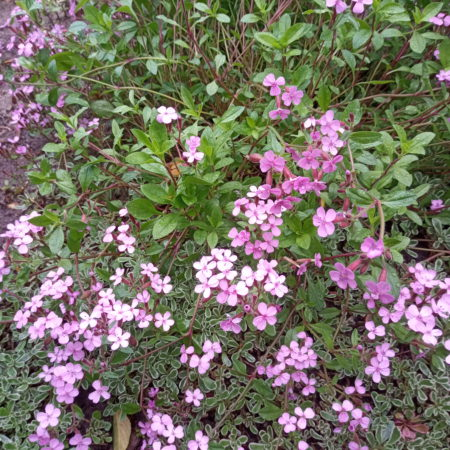 Мыльнянка розовая